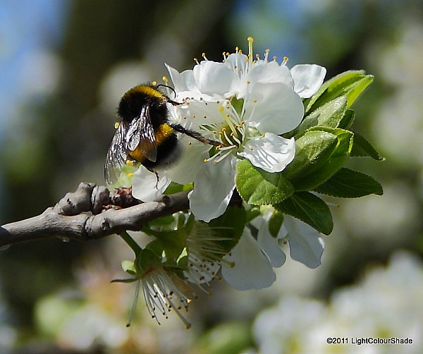 Bumblebee collecting nectar from apple tree flower