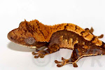 Mork - Sweet harlequin crested gecko from tricolor project at http://moonvalleyreptiles.com