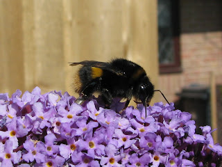 Bee on Buddleia