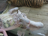 TIGERS Preservation Station - Myrtle Beach - 040510 - 11