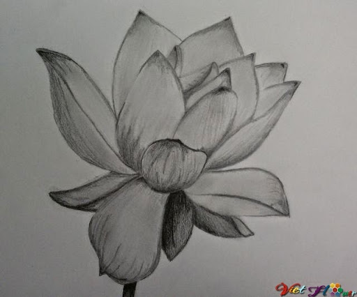 đánh sáng tối hoa sen bằng bút chì