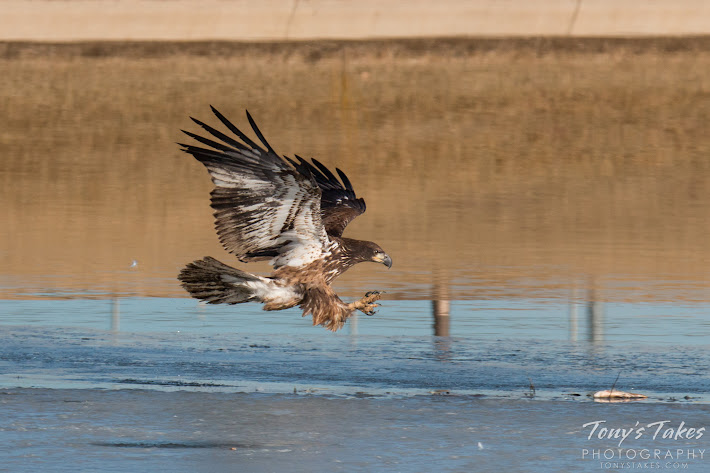 A juvenile Bald Eagle swoops in to grab a fish off the ice of a pond in Fort Collins, Colorado.  (© Tony's Takes)