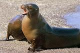 Sea Lion Pup, Fernandina Island
