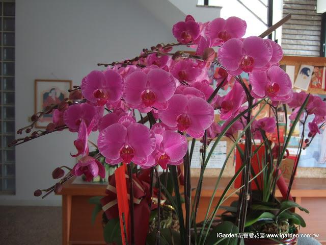 最受歡迎的桃紅色系蝴蝶蘭 | iGarden花寶愛花園