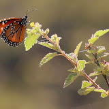 A Butterfly Takes a Rest at the Head of a Plant