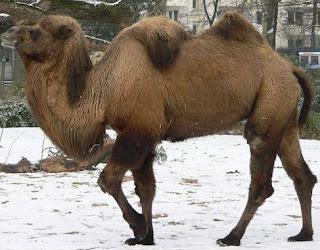 Camello en invierno
