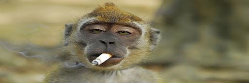 صور القردة التى تقلد الناس ولكن هذه المرة التقليد فى عادات سيئة للغاية مثل التدخين