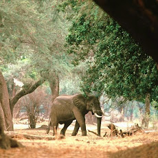 Elephants Seen On www.coolpicturegallery.us