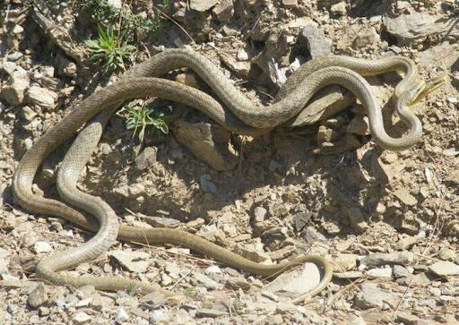 snakes making love