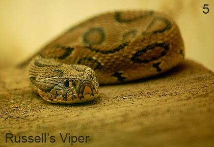 russell viper vipera russellii