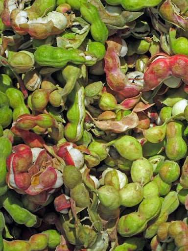 seed pods of guamúchil tree