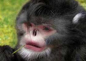 کشف میمونی که دائم عطسه میکند + عکس