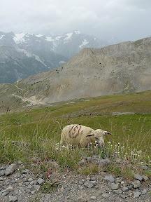 Mouton au Col de Granon