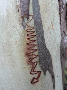 Dessins sur eucalyptus