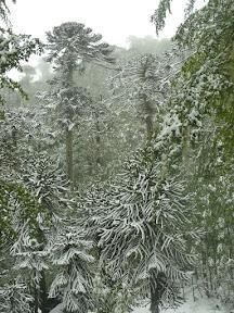 Araucarias sous la neige