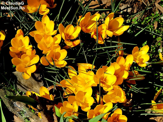 brândușe galbene