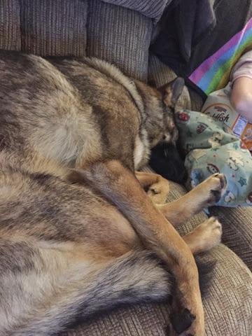 Napping GSD