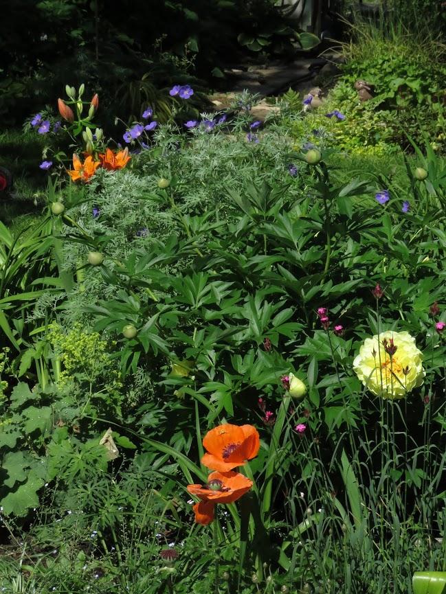 Pivoine dont j'attend la floraison depuis 2 ans IMG_6399
