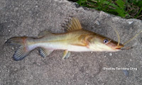Asian Redtail Catfish