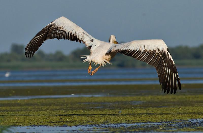pasari birdwatching caiac Delta Dunarii