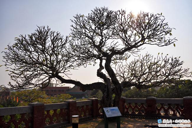 安平古堡緬梔樹群