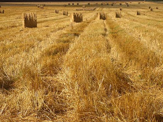 wheat ready for collection in a field Pakistan