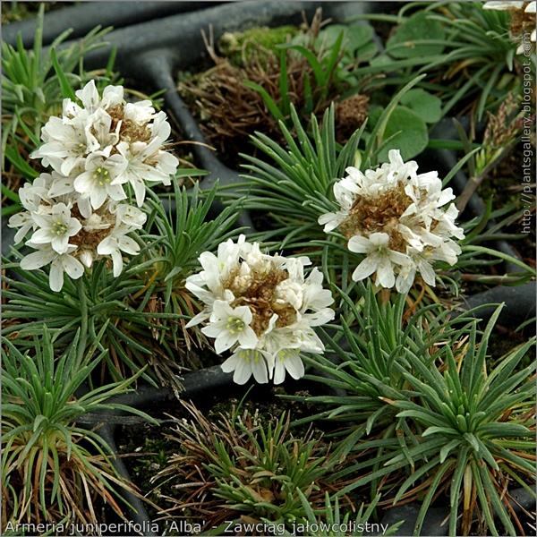 Armeria juniperifolia 'Alba' habit - Zawciąg jałowcolistny pokrój młodych roślin