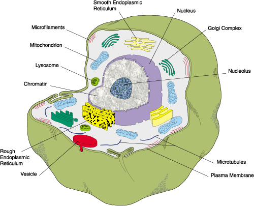 Plant Cell Diagram Labeled 7th Grade 7th Grade Animal Cell Diagram
