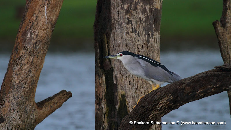 Black Crowned Night Heron at Kabini National Park - 2