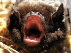 Bat in Calf Canyon