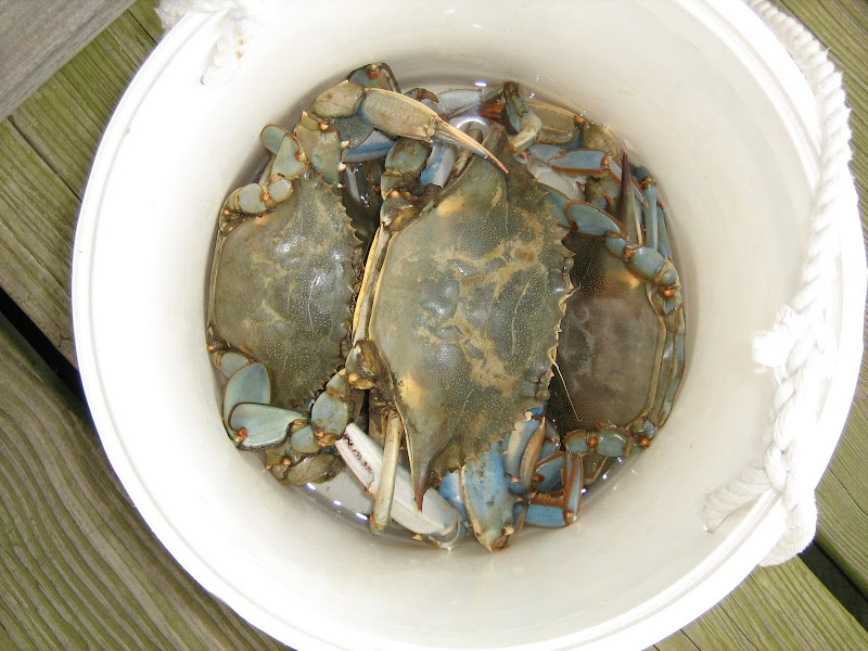 Chesapeake Crabs.