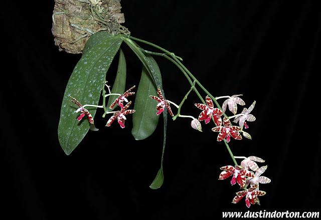 Растения из Тюмени. Краткий обзор - Страница 7 Phalaenopsis%252520mariae