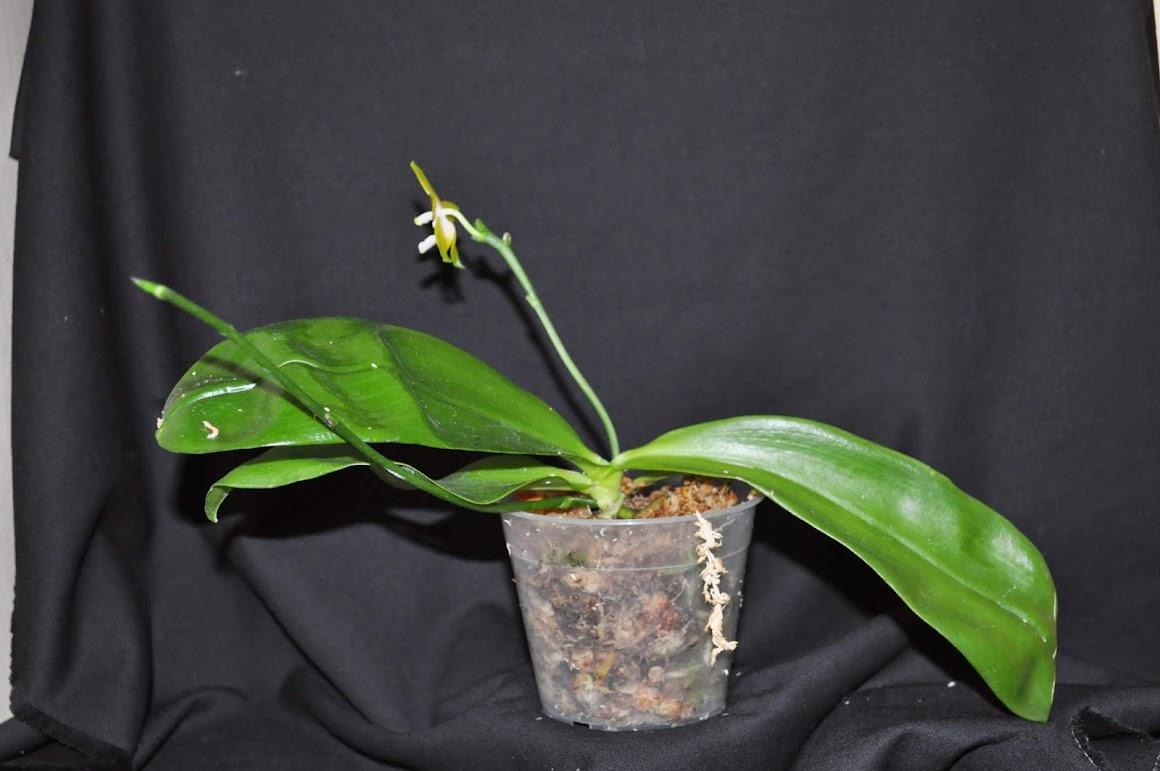 Phalaenopsis venosa DSC_0023