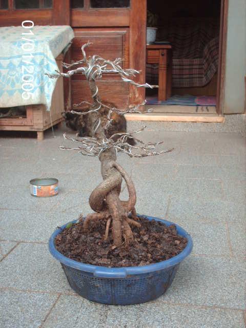 Ficus Nerifolia, Uma raiz de 3 anos... PICT0983