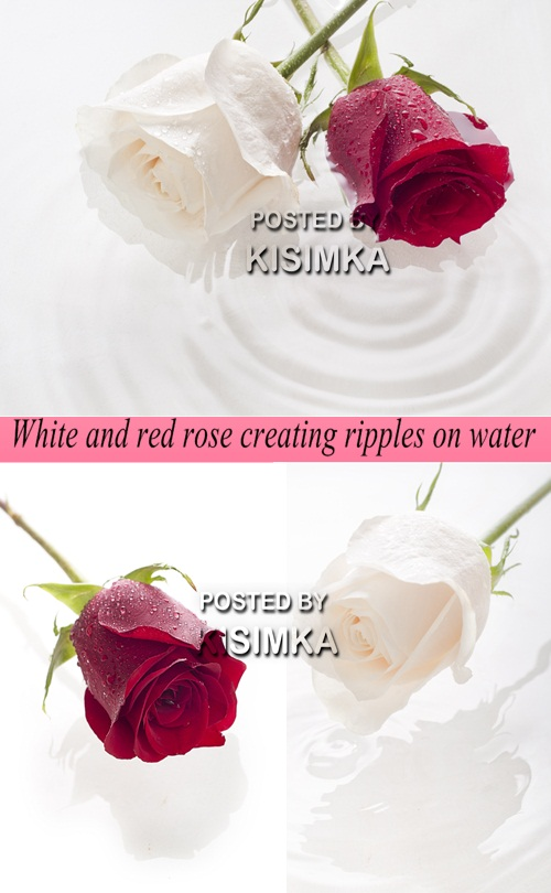 White and red rose creating ripples on water