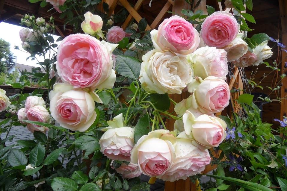 forum ogrodnicze oaza topic eden rose 85 1 2. Black Bedroom Furniture Sets. Home Design Ideas