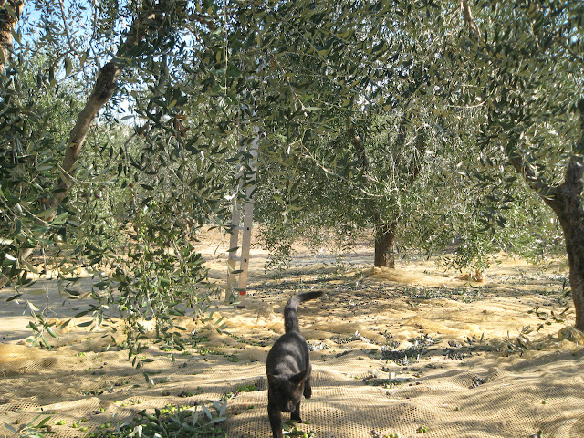 Cat and nets in olive grove during harvest