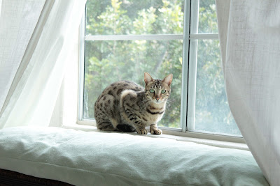 Dono the Bengal Cat in the Window