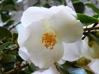 白色 八重咲き 小輪 多花性