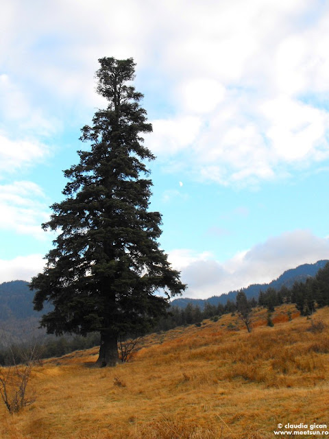 Piatra Mare din Dambu Morii - bradul solitar