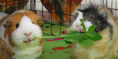 Twee cavia's met eten in hun bek