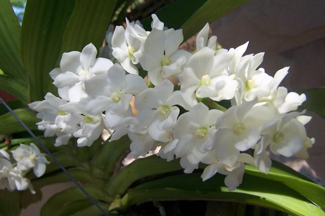 Растения из Тюмени. Краткий обзор - Страница 9 Rhynchostylis%252520gigantea%252520var%252520petoniana2