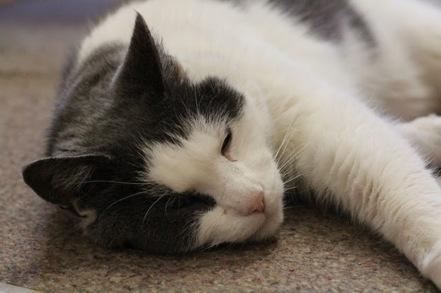 gray-and-white cat napping