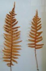 Paprotka zwyczajna Polypodium vulgare - okaz zielnikowy