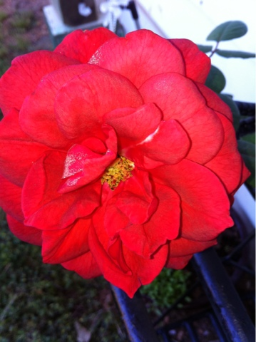 how to start a new rose bush from a cutting
