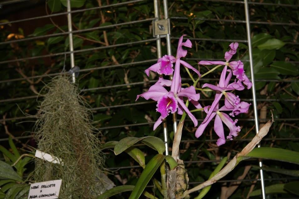 Exposition Orchidées en pays corsaire (St Malo - 35) - 1/2/3 Novembre 2013 IMG_3410+%2528Large%2529