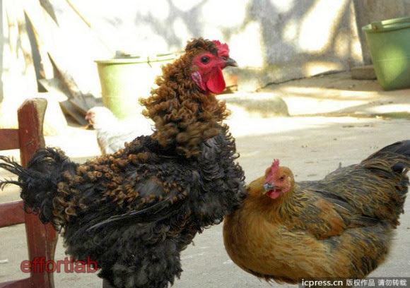 gambar-ayam-jantan-bulu-curly