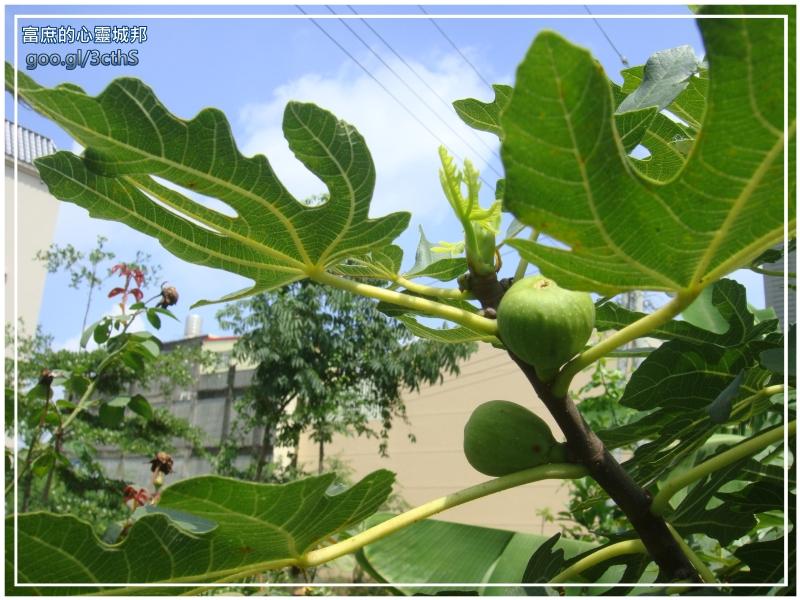 Ficus carica photographs