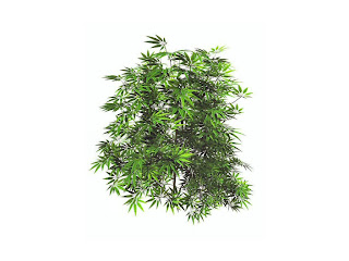Cannabis Plant Wallpaper - free download wallpapers