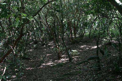 Bosque dos Camboins - Ilha do Pontal - novas imagens Mini_2013_03_1609_50_279236b